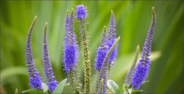 How To Plant Grow And Care For Veronica Perennials