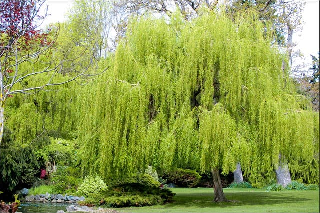 Weeping willow tree - fast growing tree