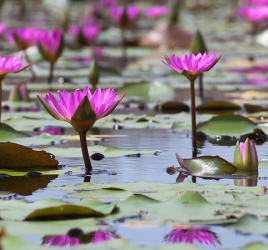 Pink water lilies (lotuses) blooming in a pond in Mai Po marshland wetlands