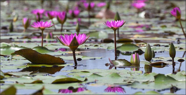 Pink water lilies (lotuses) blooming in a pond in Mai Po marshland - wetlands