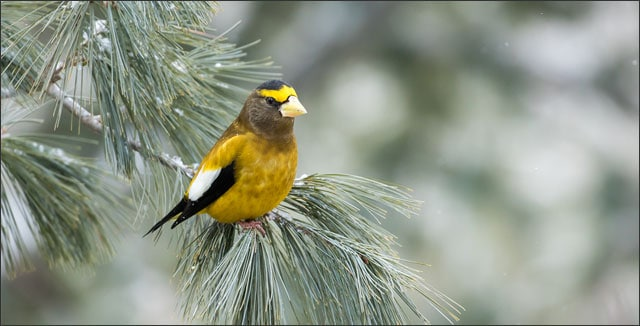 Winter birding - the   Evening Grosbeak