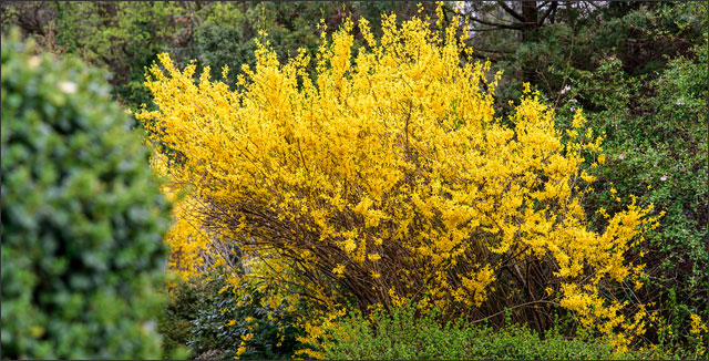 Yellow forsythia bush in spring